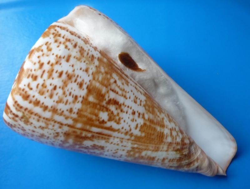 Conus (Kalloconus) pulcher  [Lightfoot], 1786 - Page 3 Conus_51