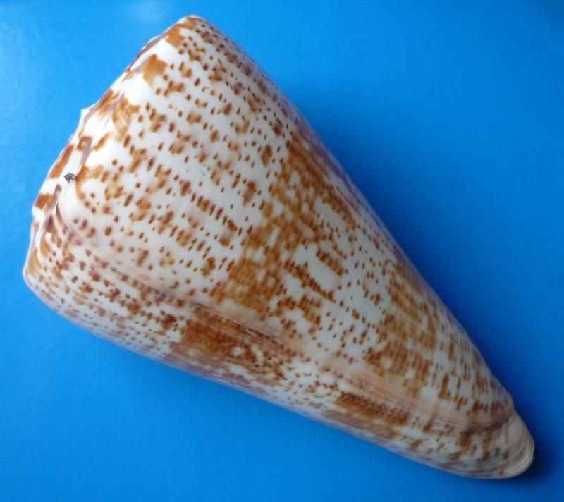 Conus (Kalloconus) pulcher  [Lightfoot], 1786 - Page 3 Conus_52