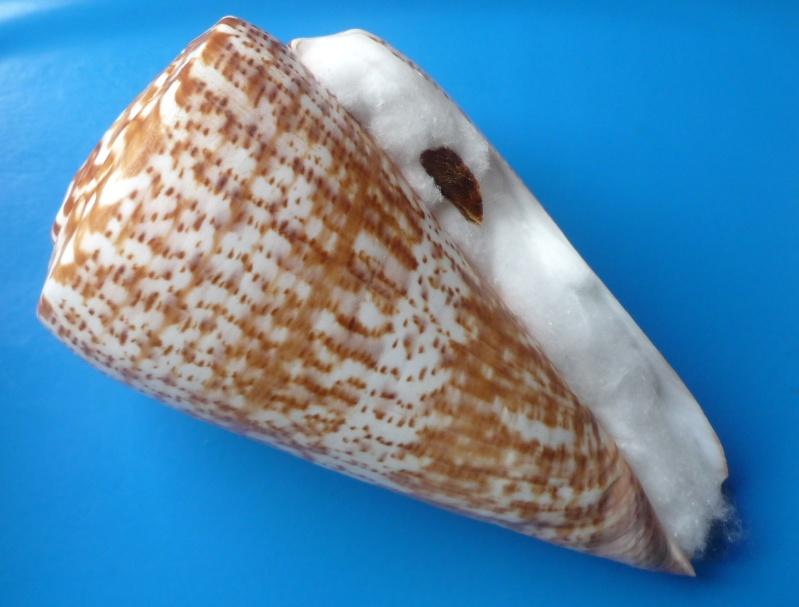 Conus (Kalloconus) pulcher  [Lightfoot], 1786 - Page 3 Conus_53
