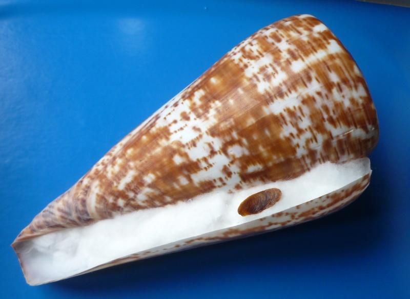Conus (Kalloconus) pulcher  [Lightfoot], 1786 - Page 3 Conus_58