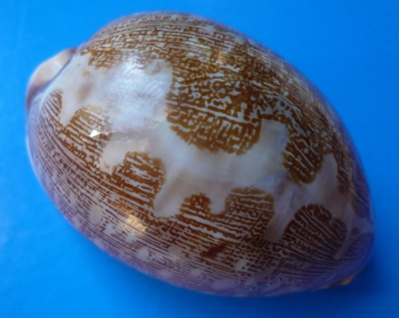 Identifications Cypraea mappa. Cyprae26