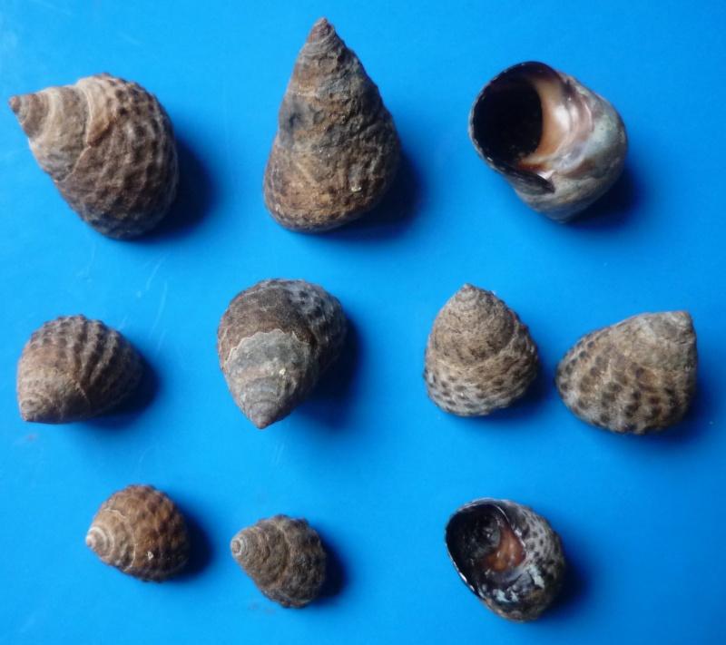 Echinolittorina granosa - (Philippi, 1845) Echino10