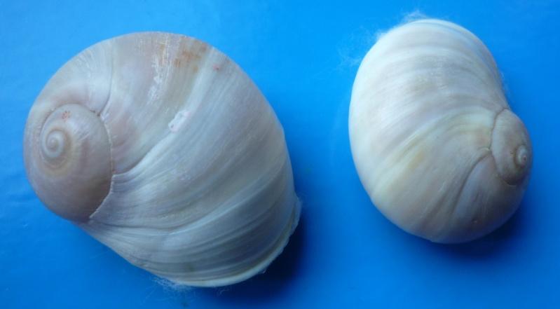 Neverita josephinia - Risso, 1826 Natica10