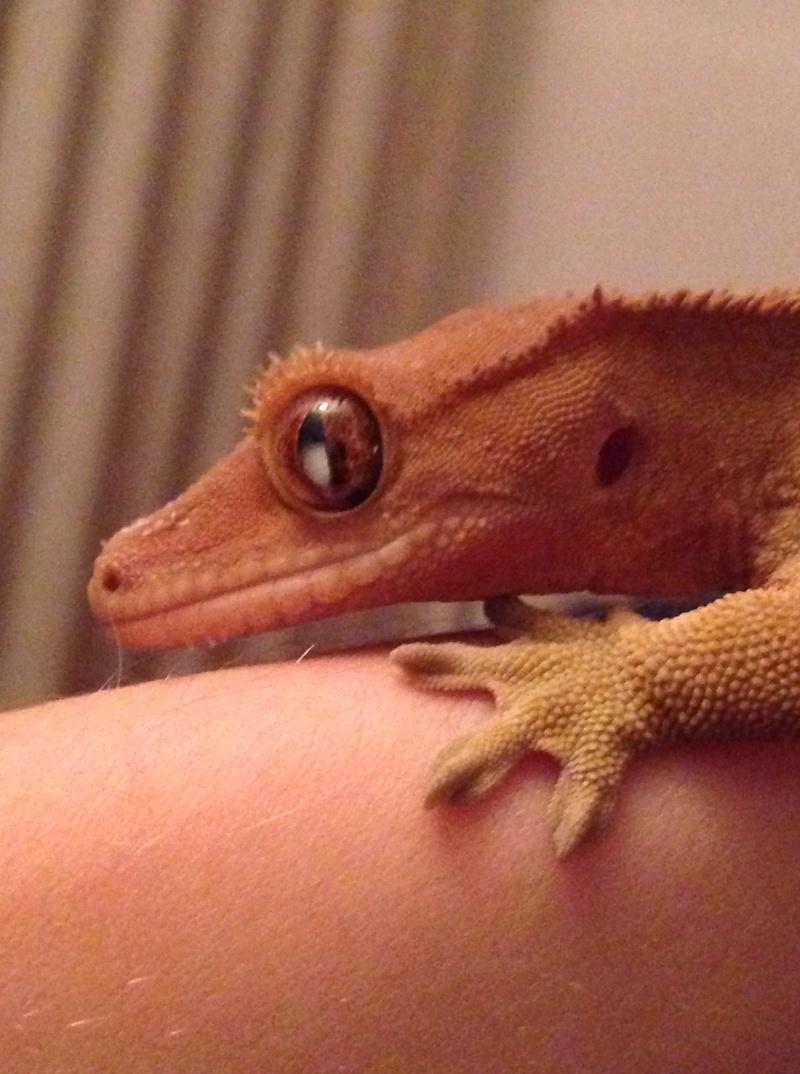 Oeil rhacodactylus ciliatus, cataracte? Photo_11