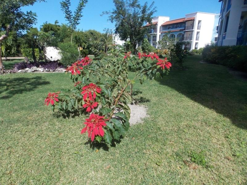 Le  Poinsettia  Dscn2211