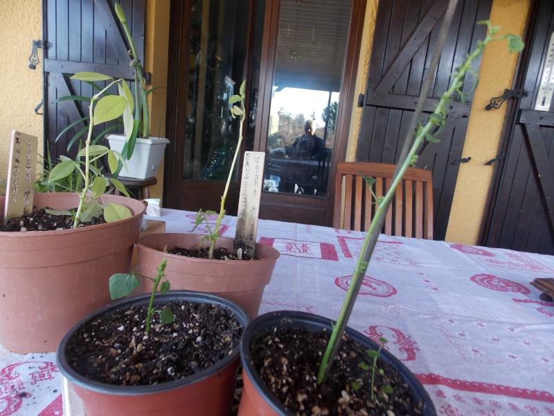 semis et culture d'erythrina crista galli - Page 2 Dscn2611