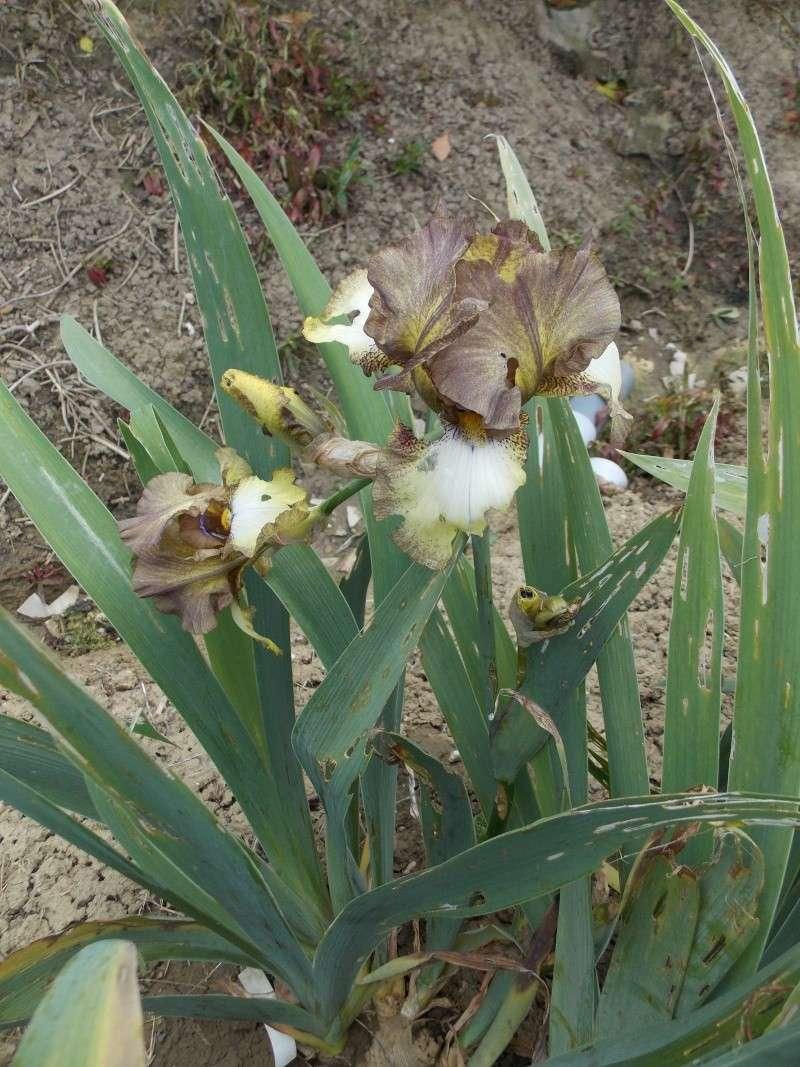 Iris : floraison 2014 - Page 6 Dscn2714