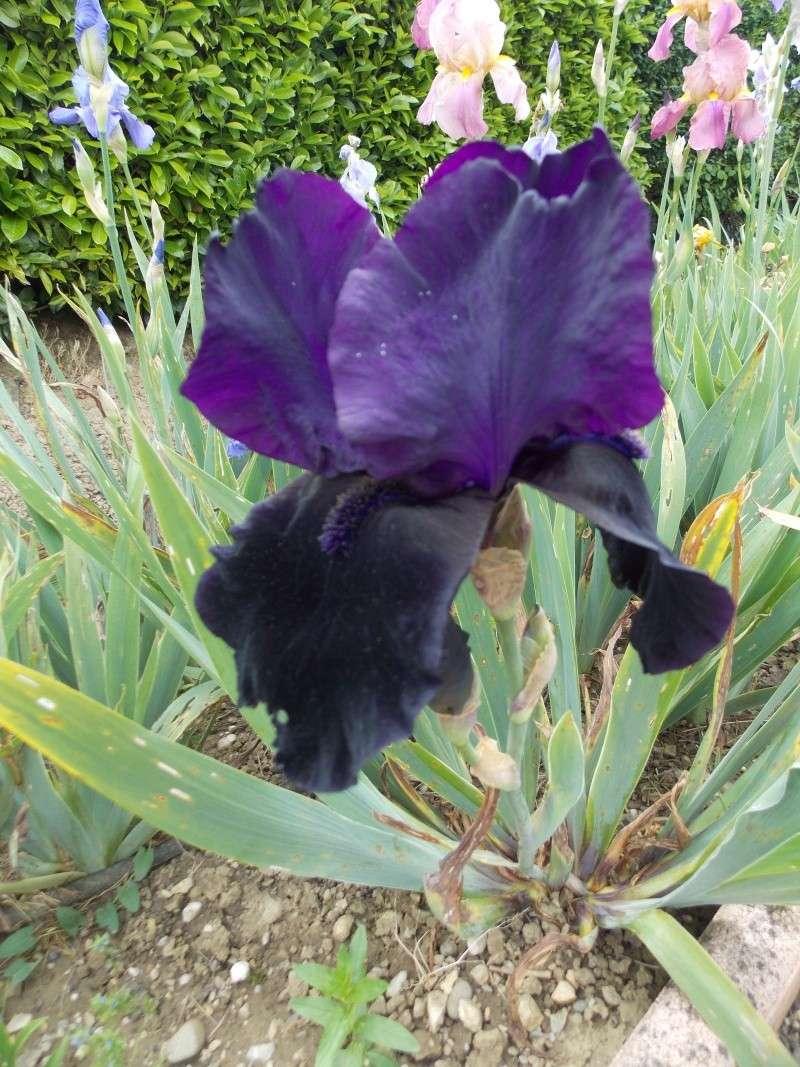 Iris : floraison 2014 - Page 6 Dscn2715