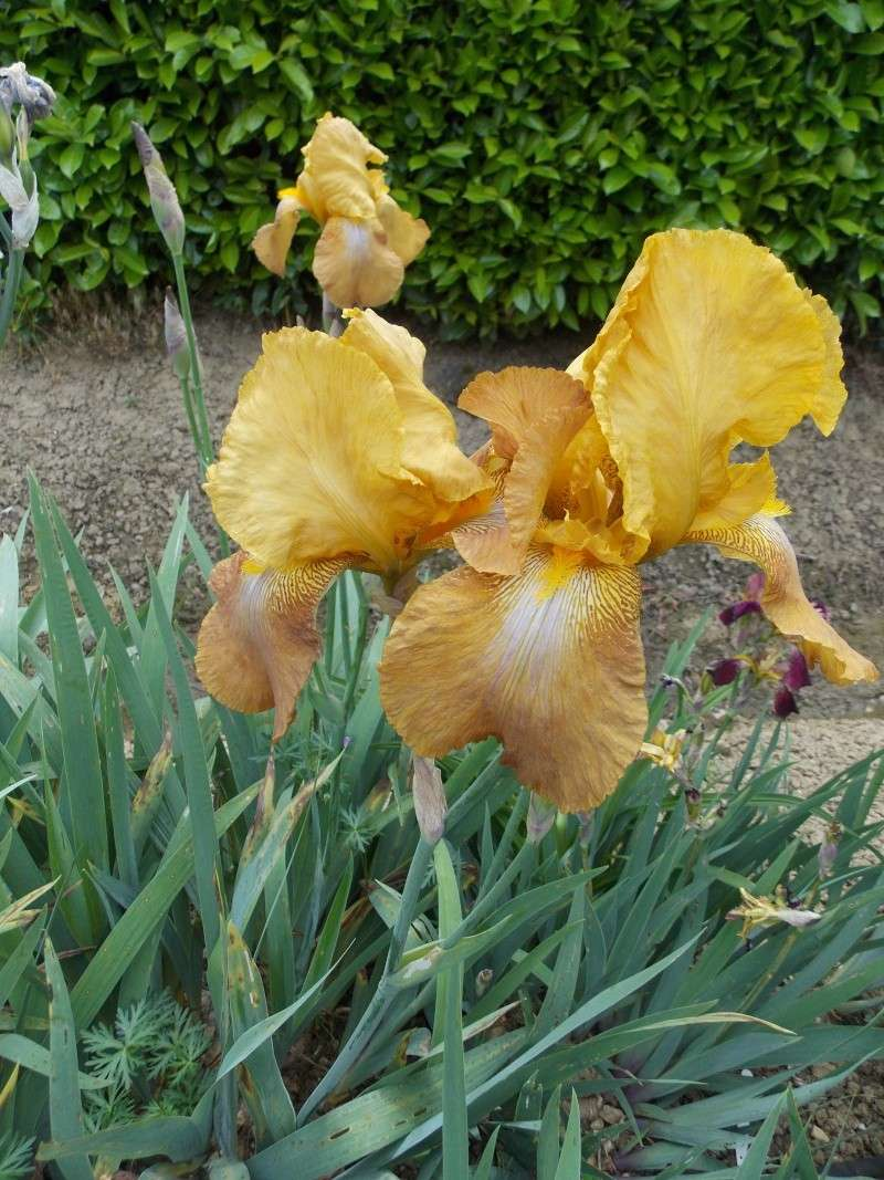 Iris : floraison 2014 - Page 6 Dscn2722