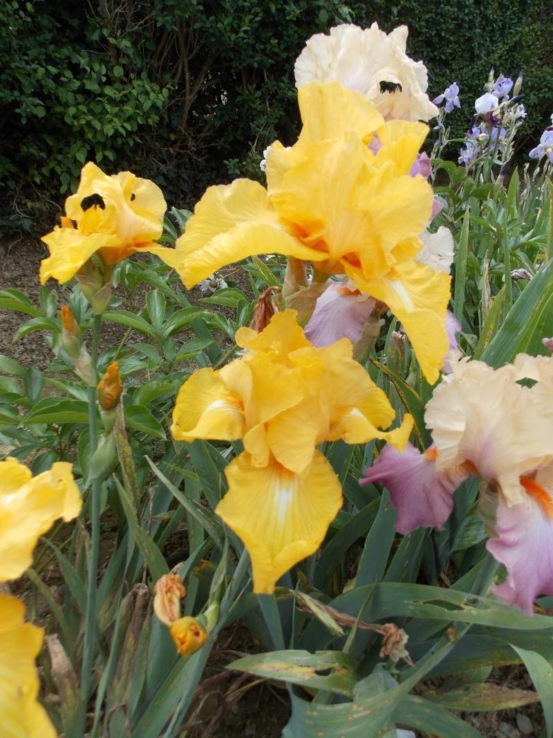 Iris : floraison 2014 - Page 6 Dscn2723