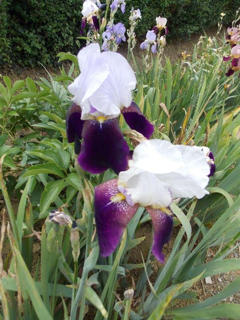 Iris : floraison 2014 - Page 6 Dscn2724