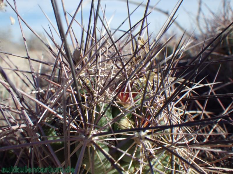 Coryphantha macromeris Bild_115