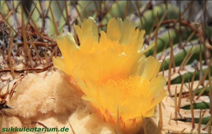 Echinocactus platyacanthus Bild_318