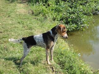 INDIEN croisé Beagle 14719310