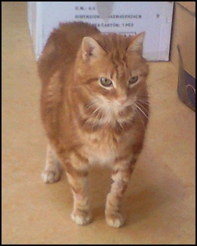 CHOU chat mâle roux 18995010