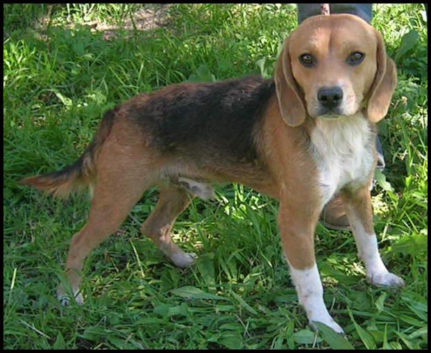IROKO jeune beagle Iroko10