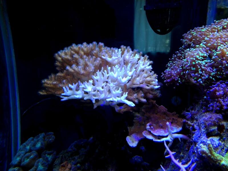 coraux qui blanchissent  !!! Img_2031