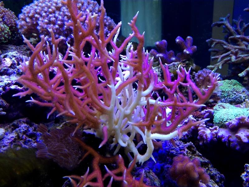 coraux qui blanchissent  !!! Img_2032