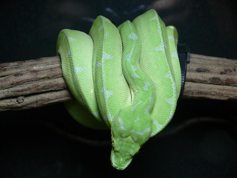 Morelia viridis Lereh  P1070118