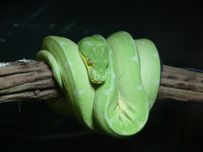 Morelia viridis Lereh  P1070321