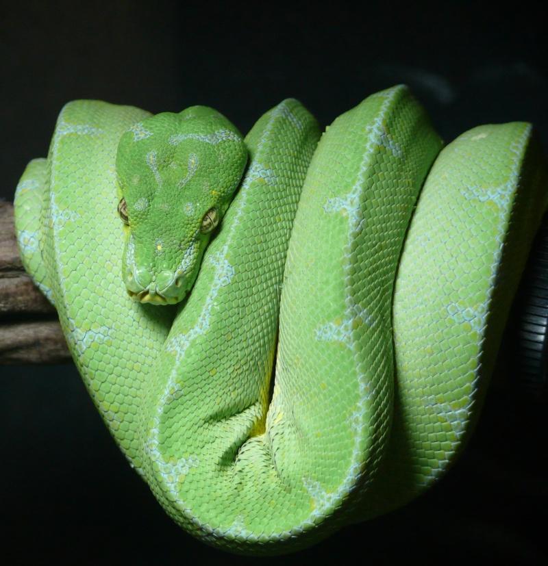 Morelia viridis Lereh  P1070322