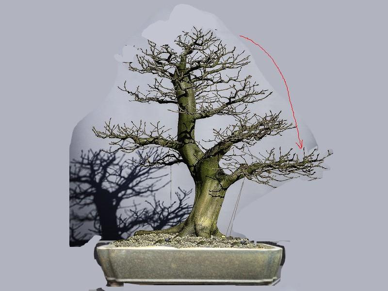 Carpinus Betulus - Update - Page 3 Betulu10
