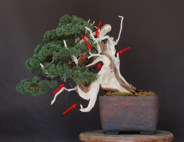 juniper repotting Junip10