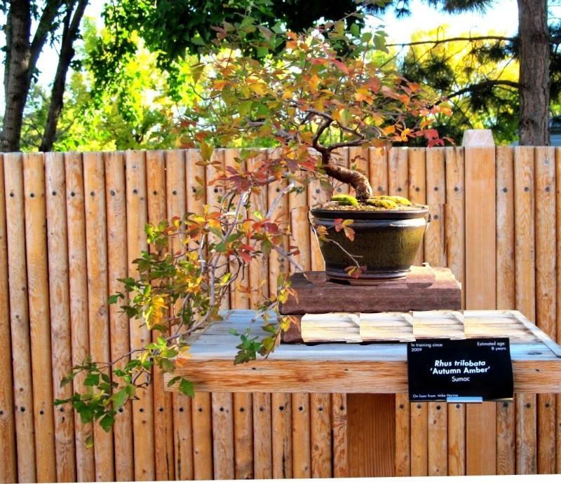 Rhus Trilobata - Autumn Amber Sumac Rhus11