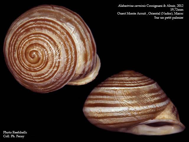 Ariophantidae du Cameroun (T04) Alabas11