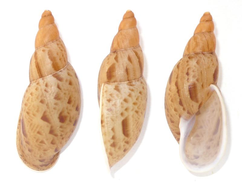 Placostylus (Proaspastus) hargravesi (Cox, 1871) Placa_10