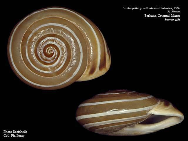 Siretia pallaryi (Kobelt, 1914) Sireti12