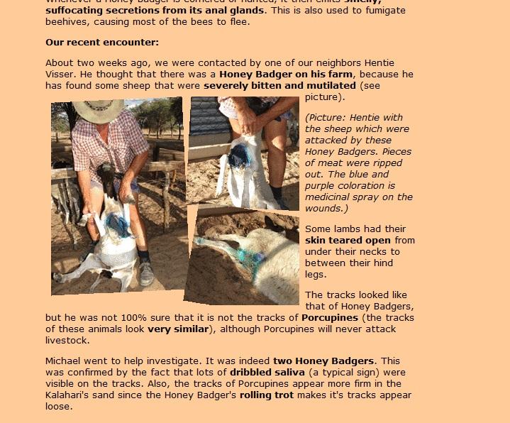 Ratel VS Staffordshire Bull Terrier - Página 2 Cabra_10