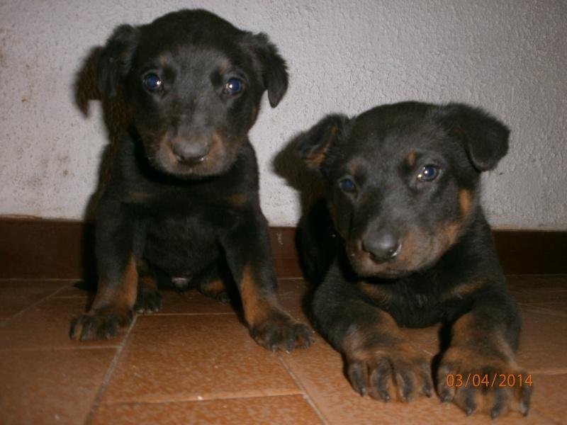 cherche chien ou chienne Chiots10