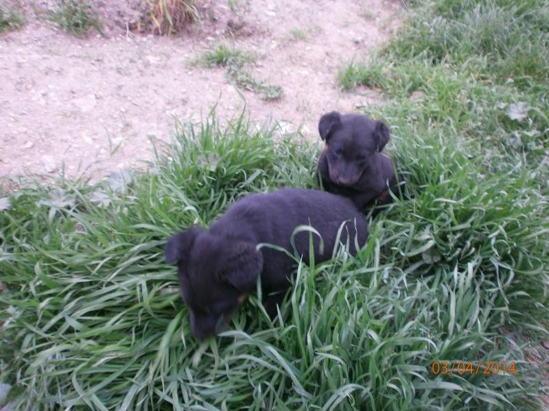 cherche chien ou chienne Chiots11
