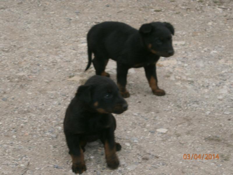 cherche chien ou chienne Chiots12