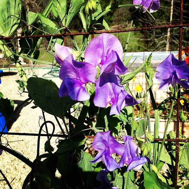 Sweet Pea (flowers) and my 4 x 4 bed - Good idea or bad idea? Sweetp10