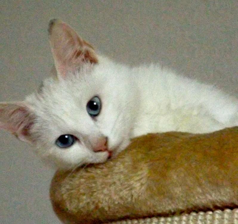La surdité chez le chat blanc Dscf0311
