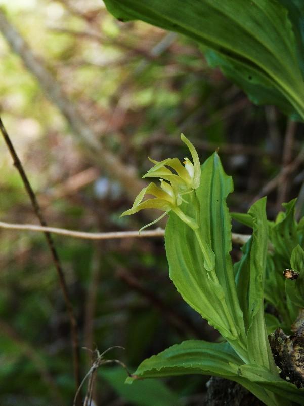 Liparis ochracea  (ou hildebrendtiana) 066112