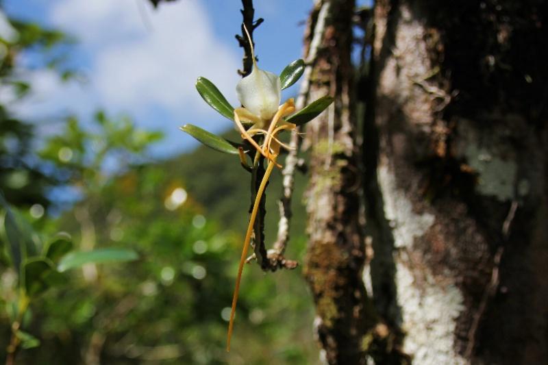 Angraecum germinyanum + corrugatum - deux raretés  072113