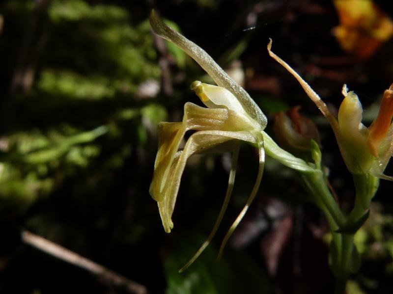 Liparis ochracea  (ou hildebrendtiana) 115110