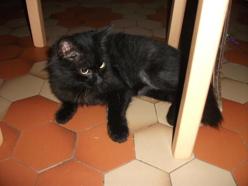 CACAO, européen noir poils mi longs 250269810118331 *en CA* Oct-2010