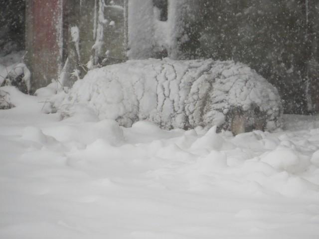 Choco ... banc de neige ou congère ...:-) Img_2012