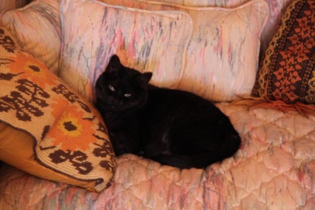 CAPSULE chatte noire de 7 ans 2010_011