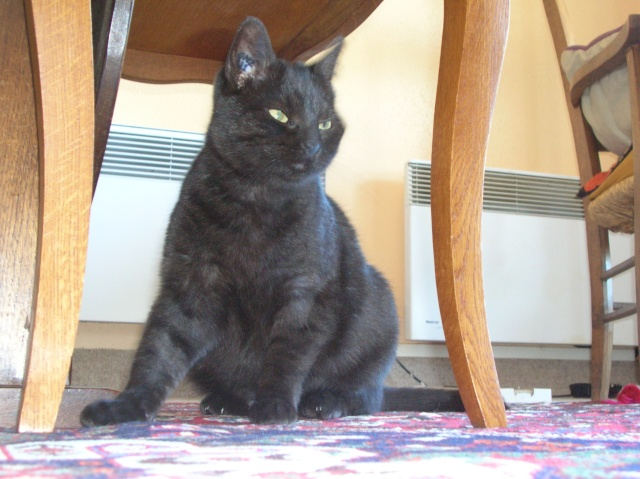 CAPSULE chatte noire de 7 ans Capsul10