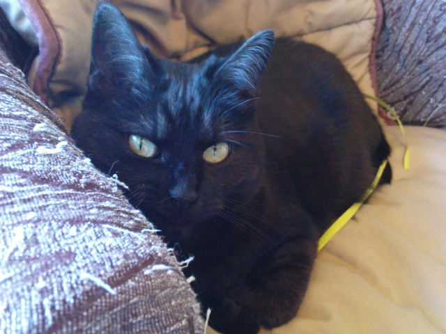 CAPSULE chatte noire de 7 ans Dsc03410