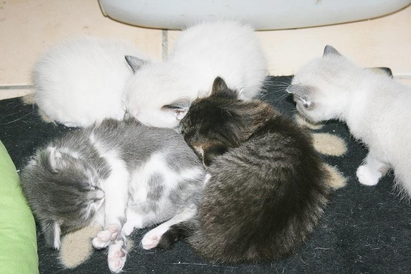 sesame femelle grise et blanche n e le 4. Black Bedroom Furniture Sets. Home Design Ideas