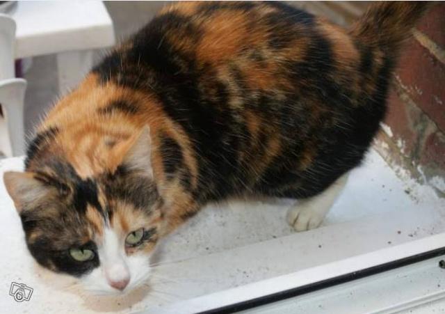 Trouvée chatte tricolore Chatte10