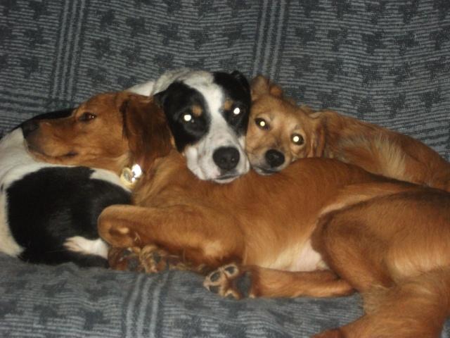 Gazou - croisé blanc, noir et marron - né le 01/01/2011 (Adopté dans le 59) Dscf4025