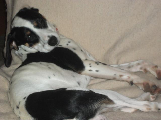 Gazou - croisé blanc, noir et marron - né le 01/01/2011 (Adopté dans le 59) Dscf4113