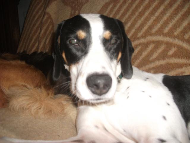 Gazou - croisé blanc, noir et marron - né le 01/01/2011 (Adopté dans le 59) Dscf4215
